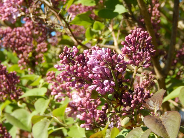Lilacs begin to open