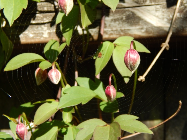 Mr Spider and Clematis buds