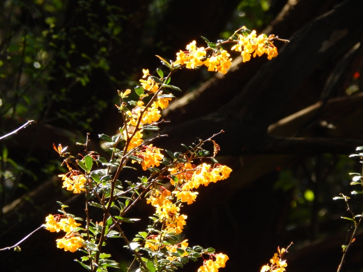 Yellow flowers in the Madrona forest