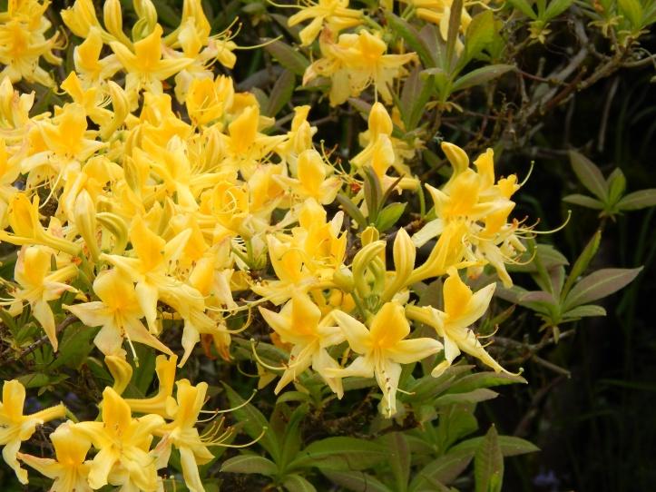 Blazing Yellow Azela