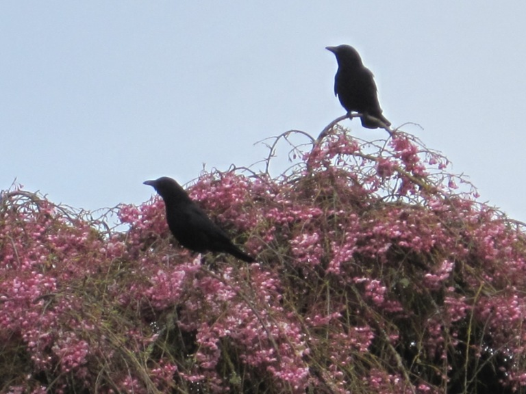 Crow Pair stopped to smell the flowers