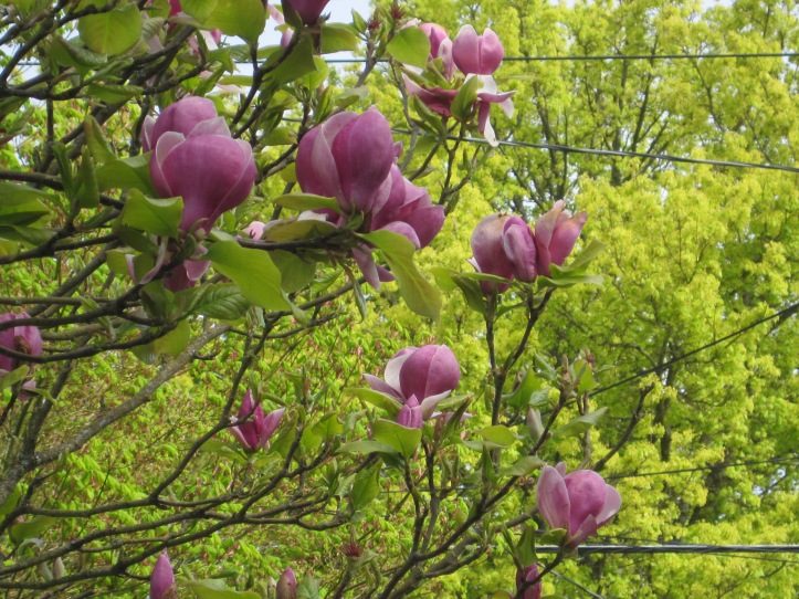 Tulip Tree in the alley