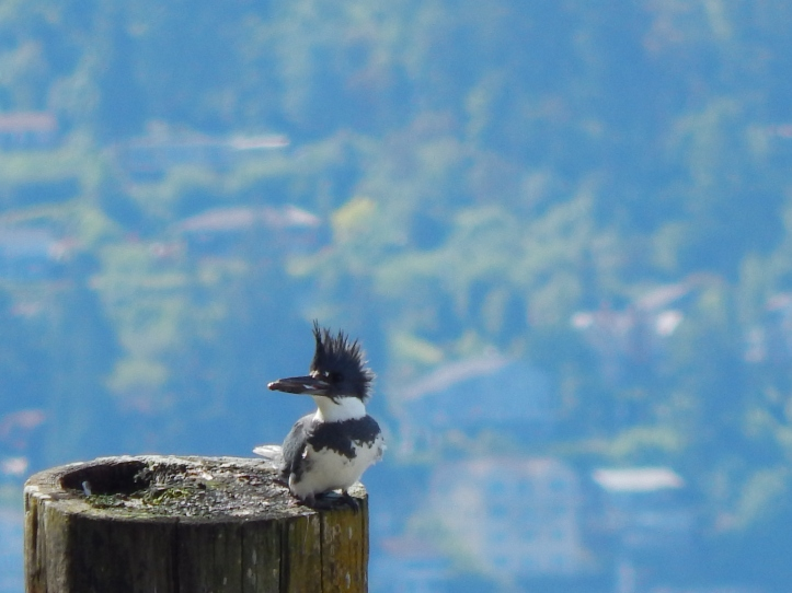 Belted Kingfisher with his fish
