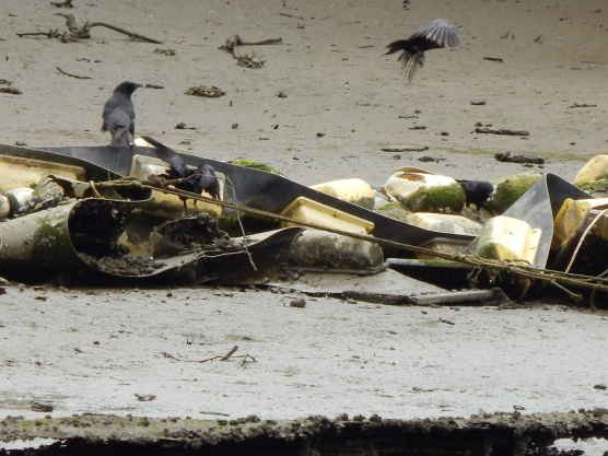 Crow Family enjoys tid-bits stuck on shore of the Duwamish