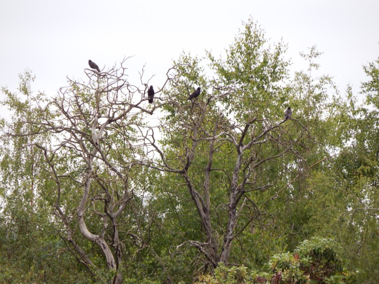 Crows in snag tree on Kellogg Island