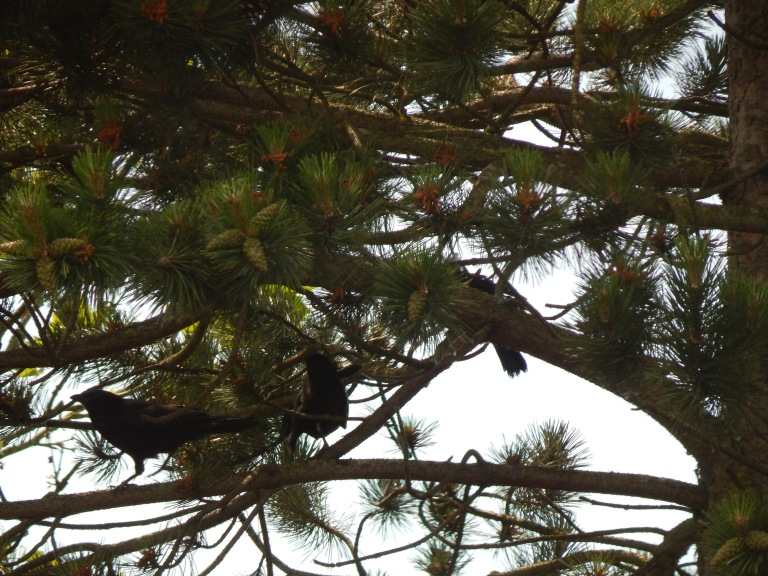 Crow Triplets out for their first romp.  Driving parents crazy!