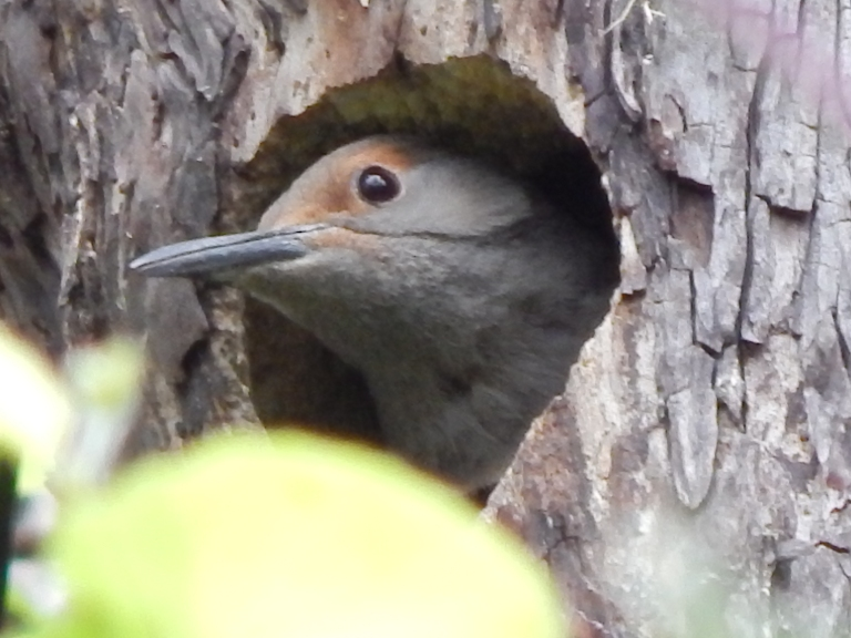 Flicker in nest hole
