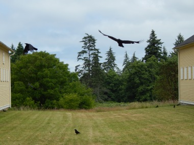Fort Lawton Crows in flight