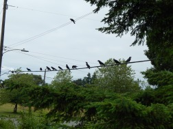 Crows on the Wire at Discovery Park