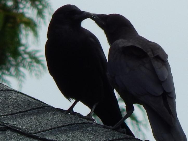 Rooftop baby crow love