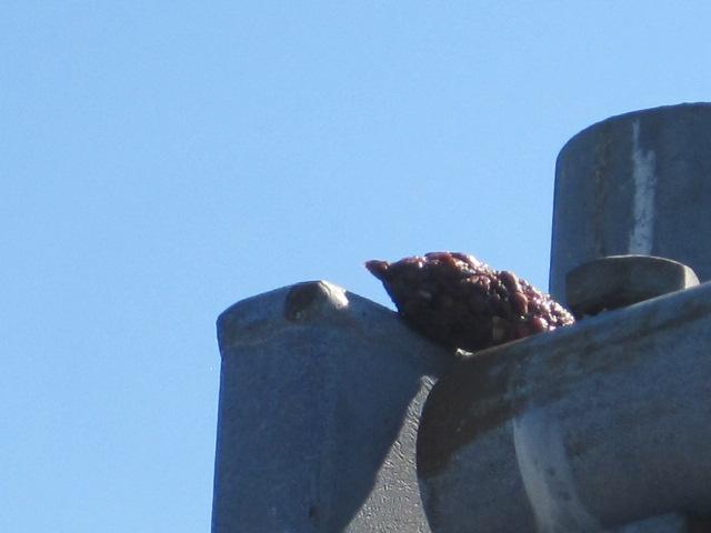 Second Crow Pellet at Jack Block Park