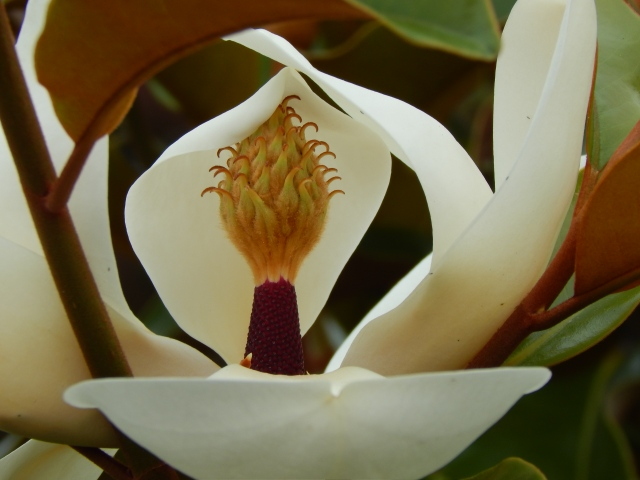 Magnolia Tree Blooms on Earth