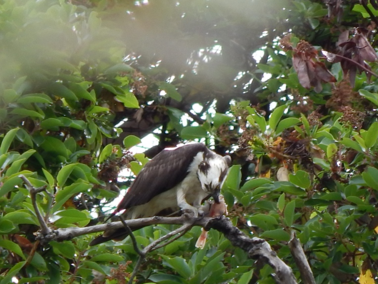 This is how the Osprey eats his fish