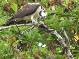 Close up of Osprey chowing