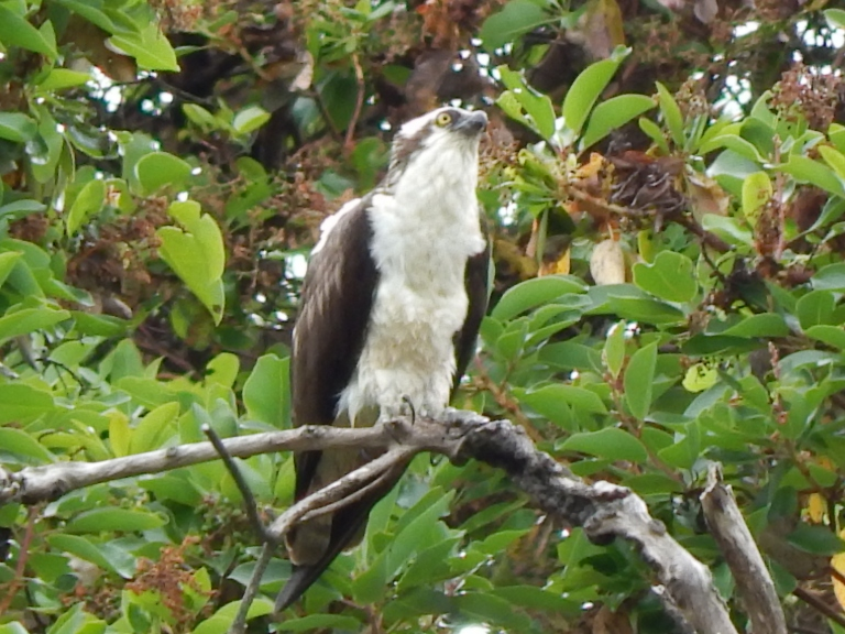 Osprey posing in madrona after meal