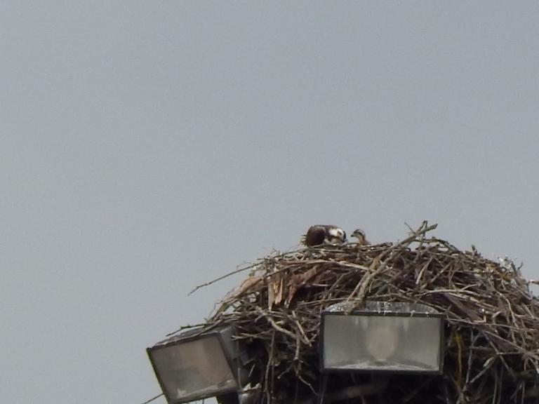 Osprey on Duwamish feeding baby