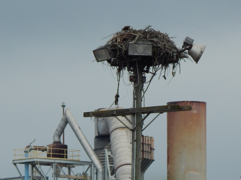 Osprey Nest on Duwamish junk yard light pole