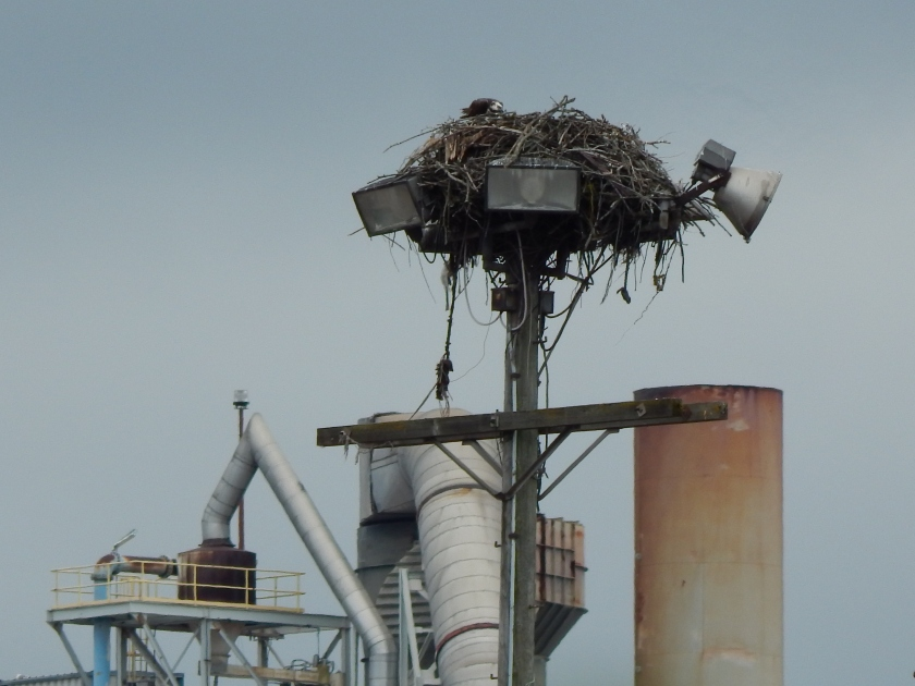 Osprey Nest on Duwamish junk yard light pole