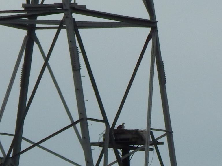 Power Osprey keeping home safe