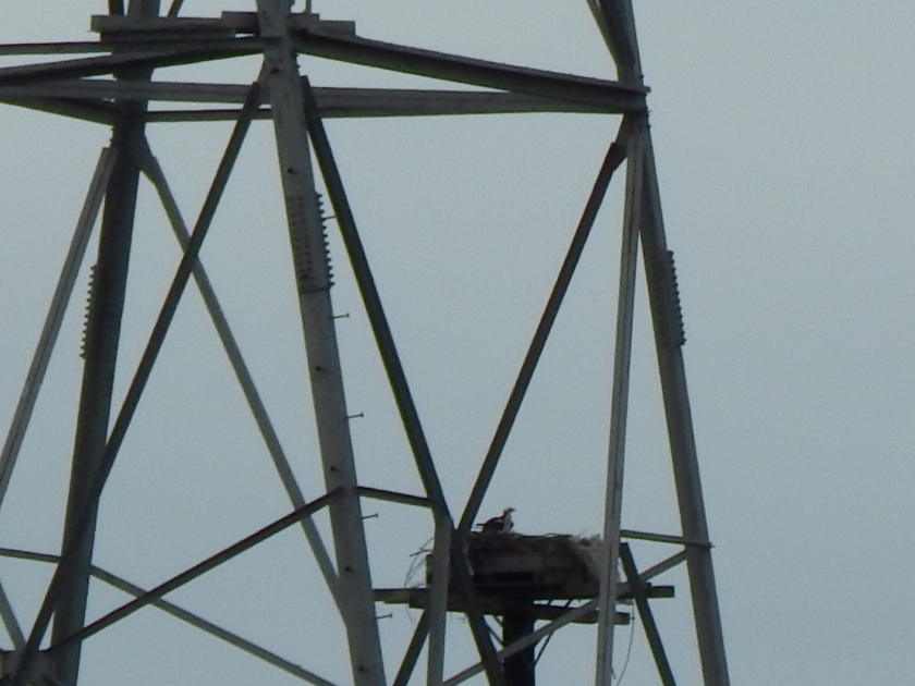 Power Osprey keeping home safe