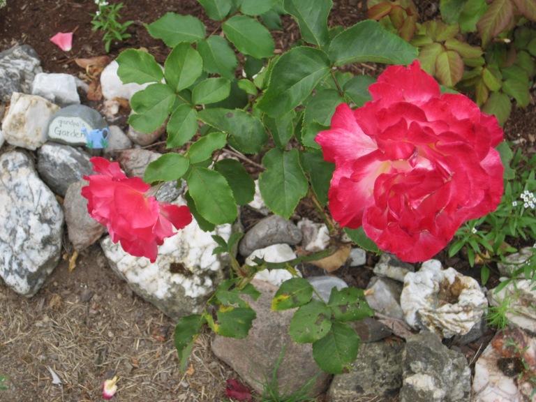 Grandpa's Garden Rose