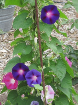 Vibrant Morning Glory