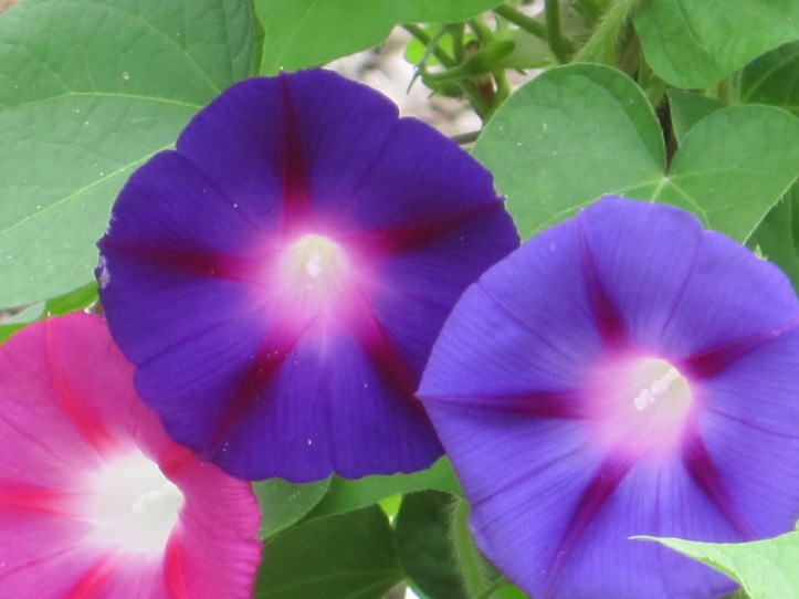 Essence of life shining from Morning Glory