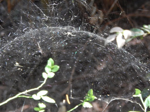 Mr. Sierra Dome Spider