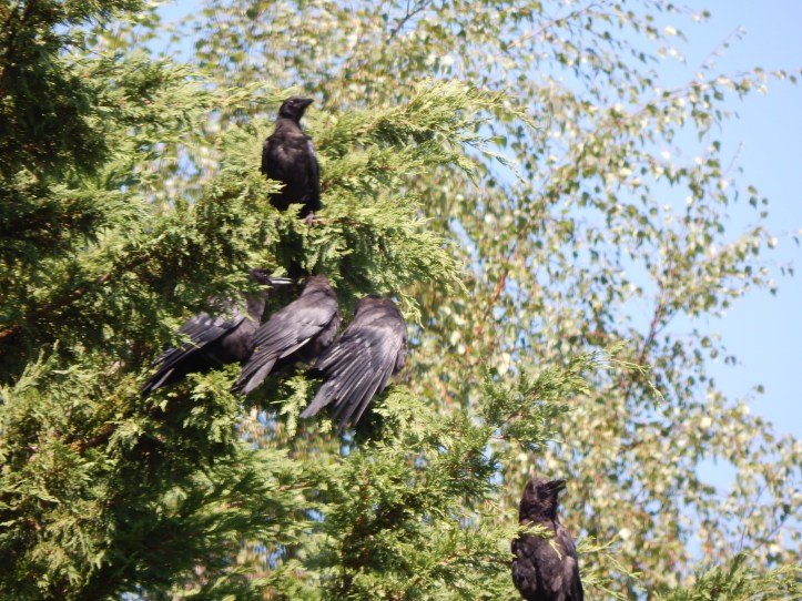 Crow Family sunning themselves
