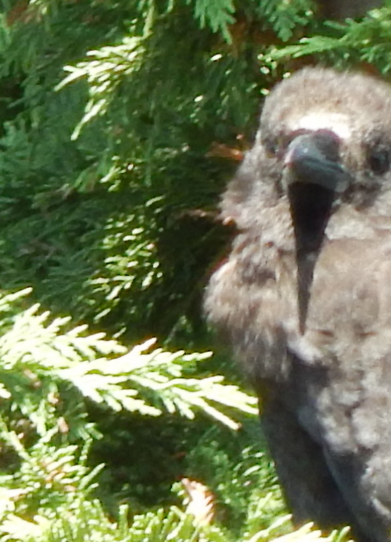 Crow going bald