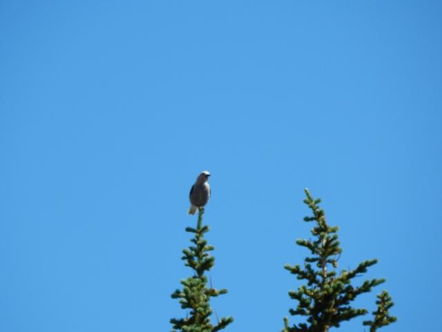 Clark's Crow (Nutcracker) watching for a handout