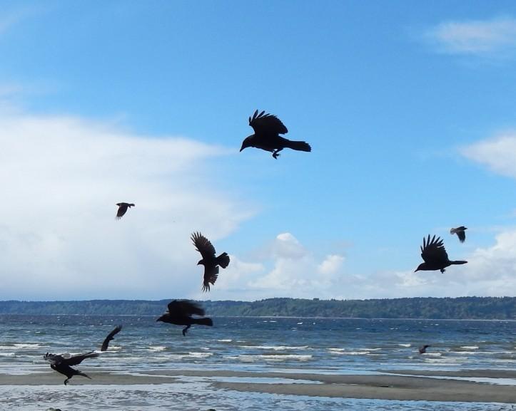 Crow Show Offs