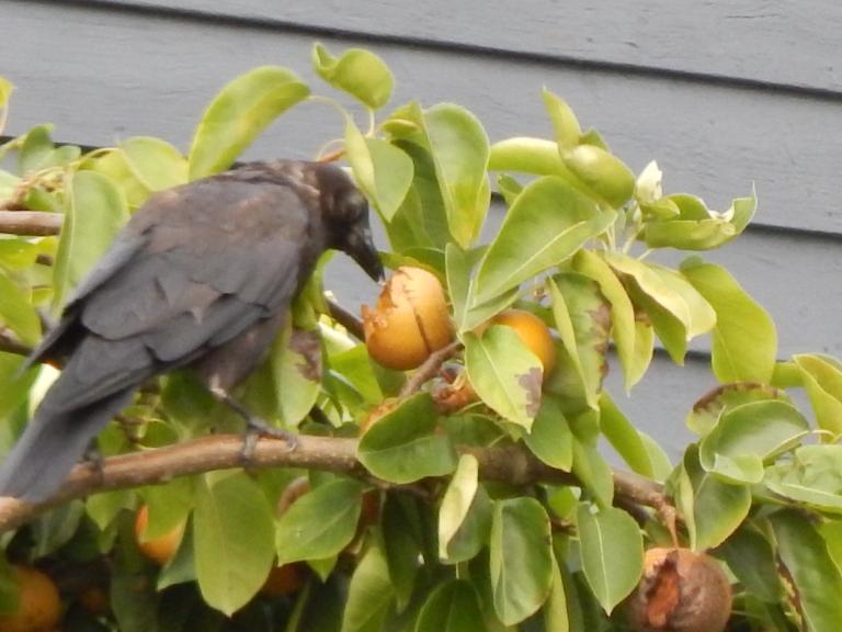 Crow says yummy pear
