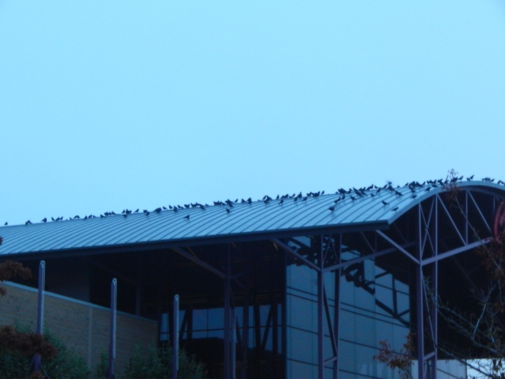 Morning Crow Chat in Renton