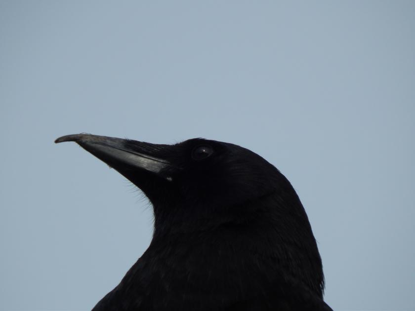 Mr Crooked Beak - close up