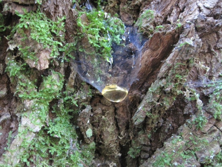 Maple tree Sap - so mysterious