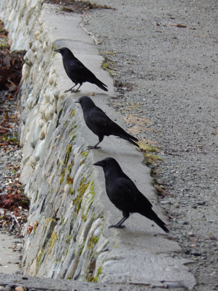 Three amigo crows
