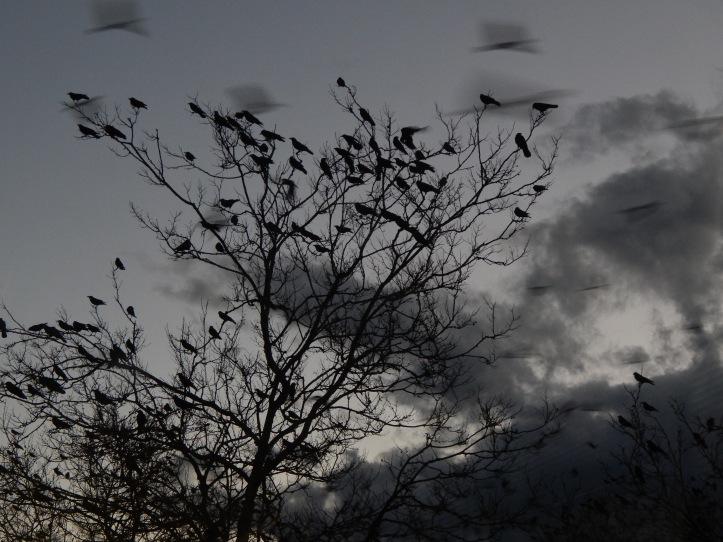 December Dusk Crow visit