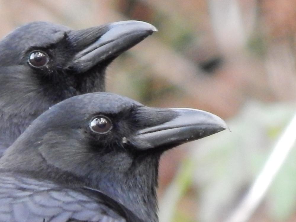 Crow Pair watch the flock