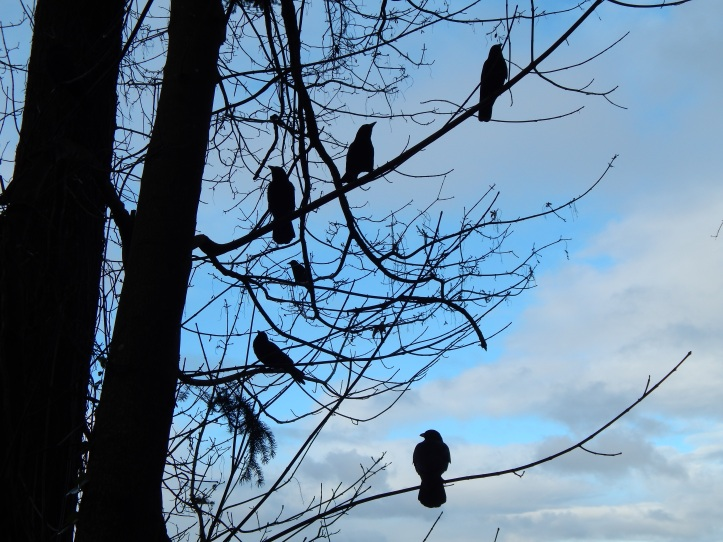 Crow Family watching me