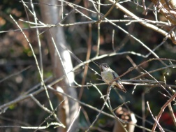 Hummingbird watching his feeders