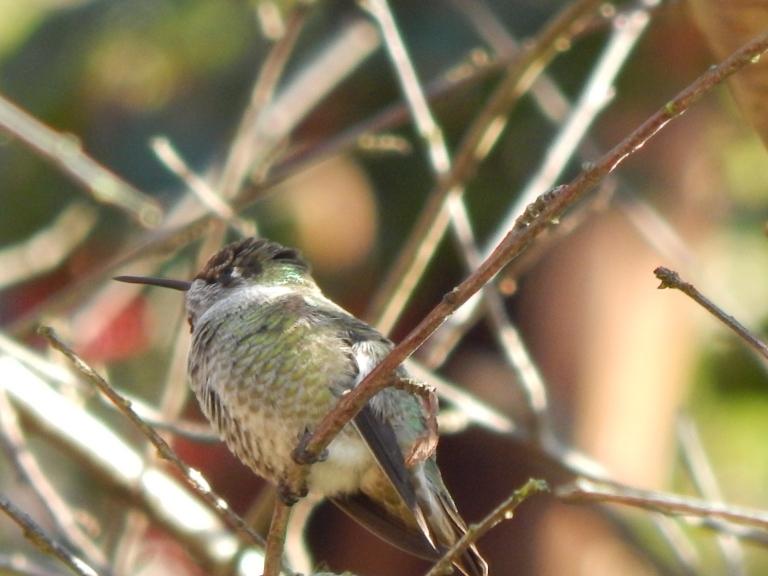 Hummingbird at Ocean View Beach