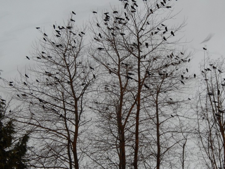 Renton Crow Roost forms up