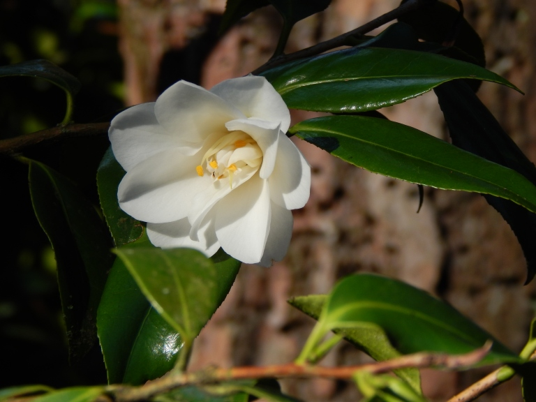 Lincoln Park White Camellia