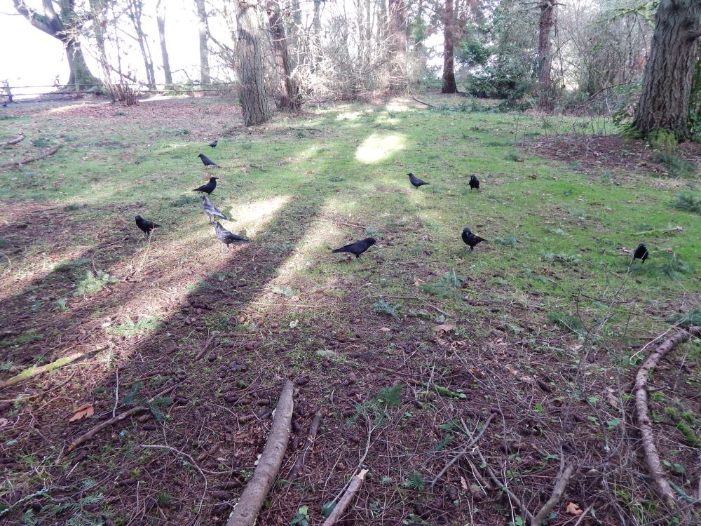 Crows in the forest meadow