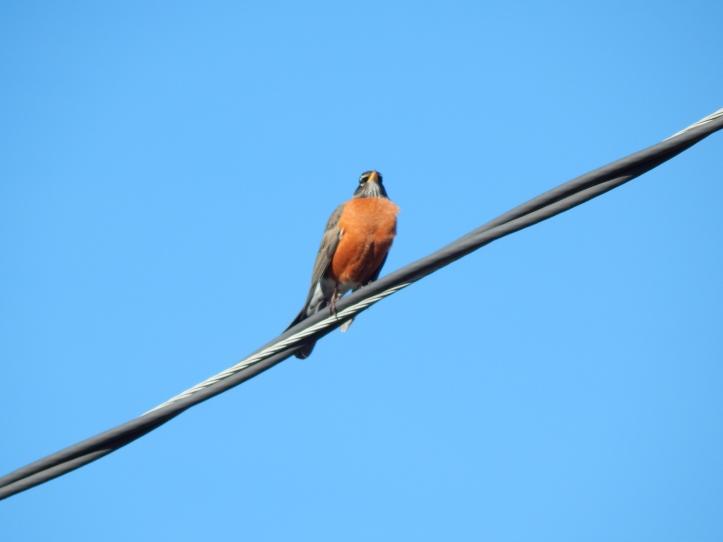 Robin singing his spring song