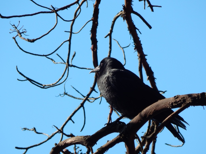 Crow Watcher of the Madrona forest