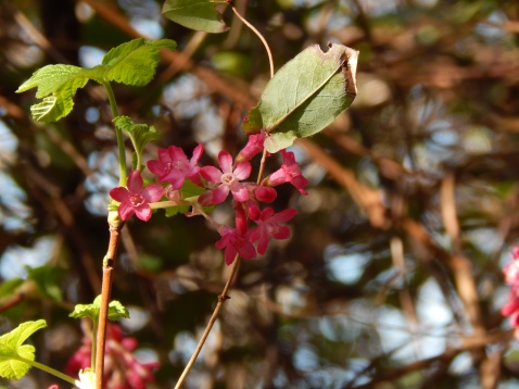 Red Flowering Current in Madrona Forest