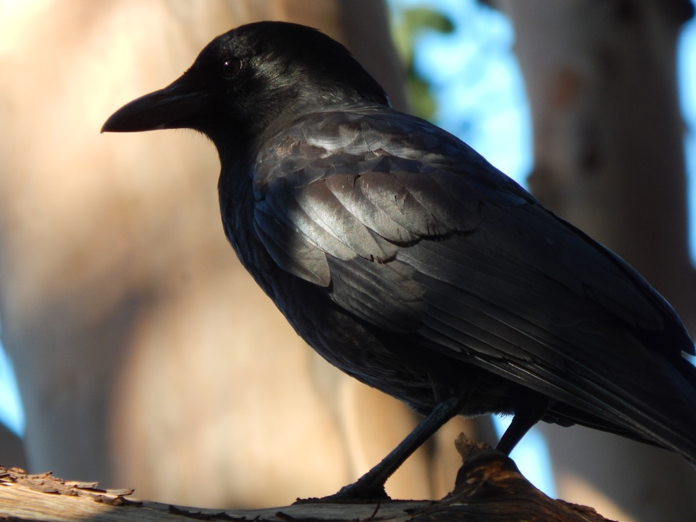 Crow shining in the sun of the madrona forest