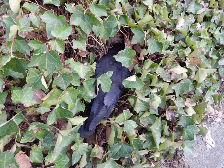 Murdered Crow